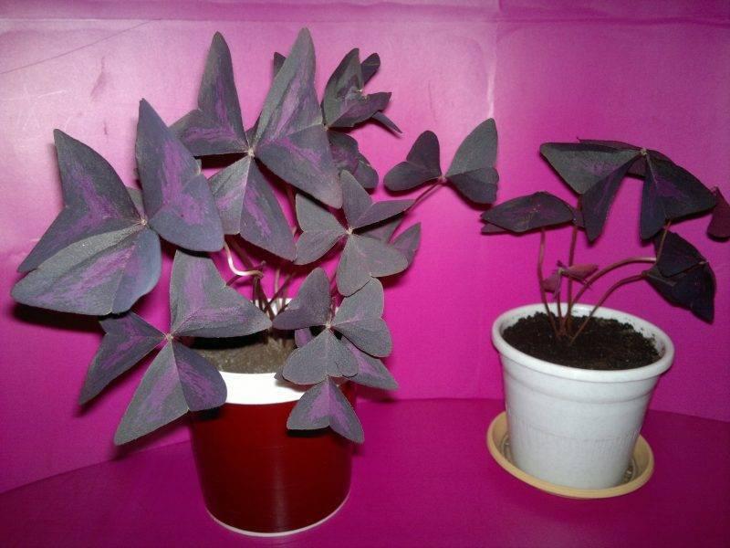 Комнатный цветок кислица: фото разновидностей, выращивание в домашних условиях, уход и размножение