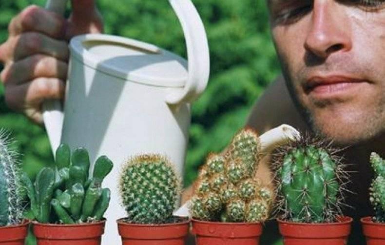 Выращивание цереуса перуанского: как посадить, ухаживать, удобрять, размножать