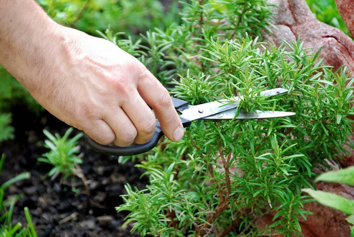 Выращивание розмарина из семян в домашних условиях - подробная инструкция!