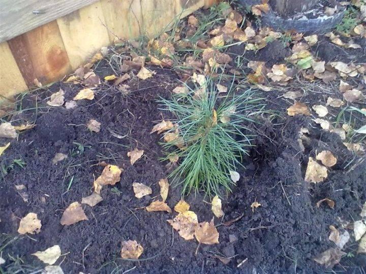 Как правильно посадить и вырастить кедр из орешка дома