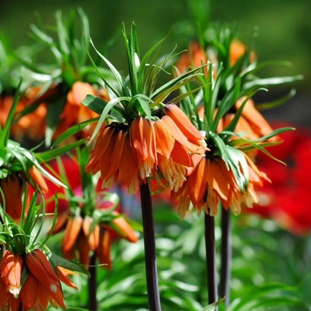 Почему не цветет чубушник. плохой рост растения
