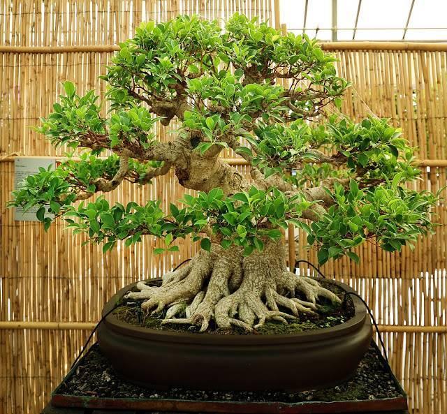 Бонсай из можжевельника: как сделать китайский, садовый и казацкий бонсай из можжевельника обыкновенного? особенности ухода в домашних условиях