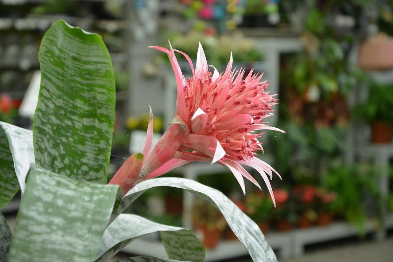Эхмея полосатая (25 фото): уход в домашних условиях, размножение и цветение сорта «примера»