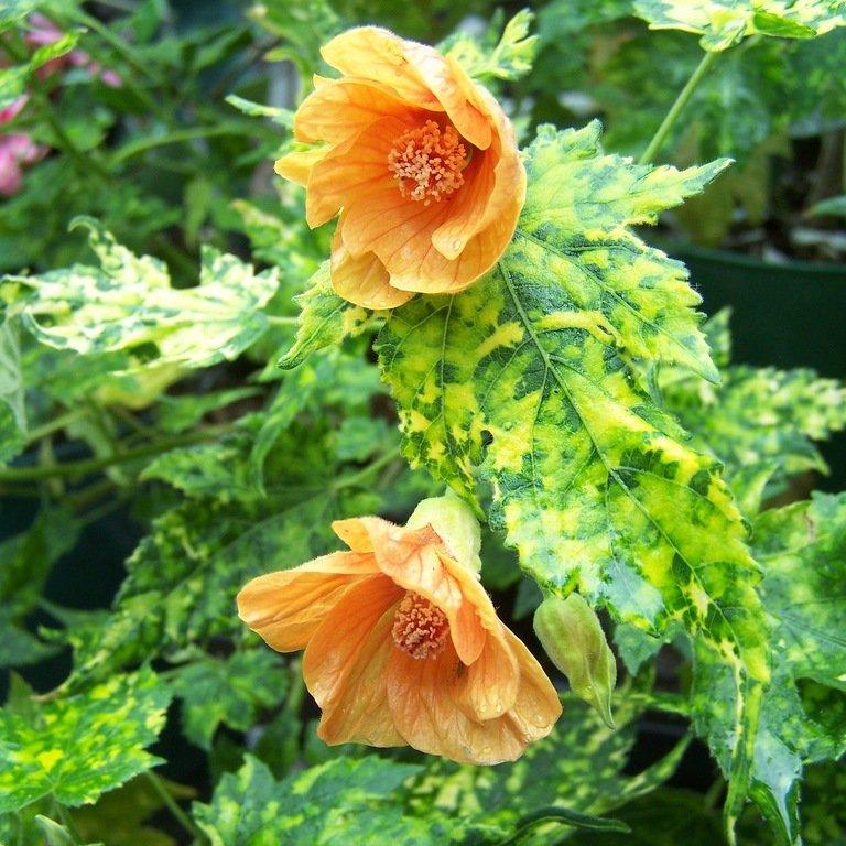 Виды с фото и описанием растения — абутилон