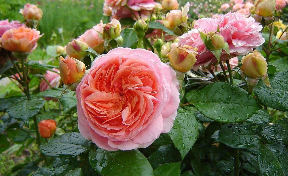 Чайно-гибридный сорт розы осирия: характеристики гибрида, как выращивать
