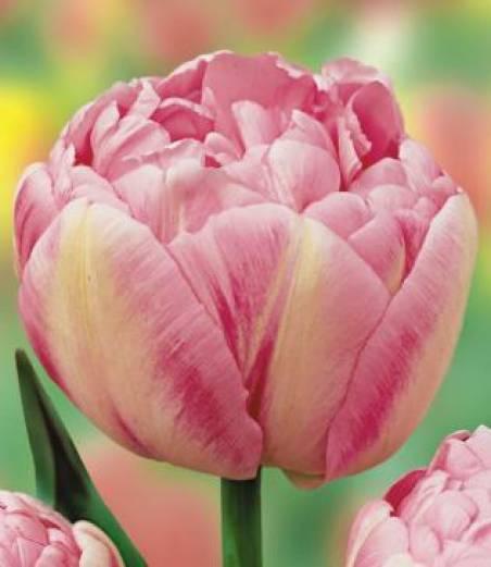 Пионовидные тюльпаны – фото и описания 10 лучших сортов