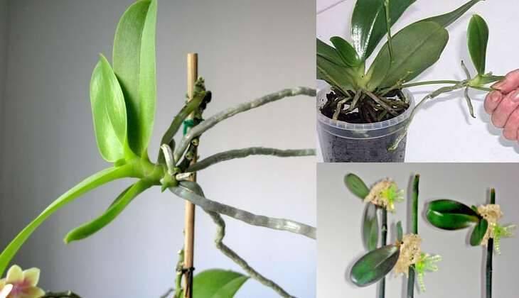 Основные виды камбрии, примеры пересадки и ухода за цветком: варианты реанимации