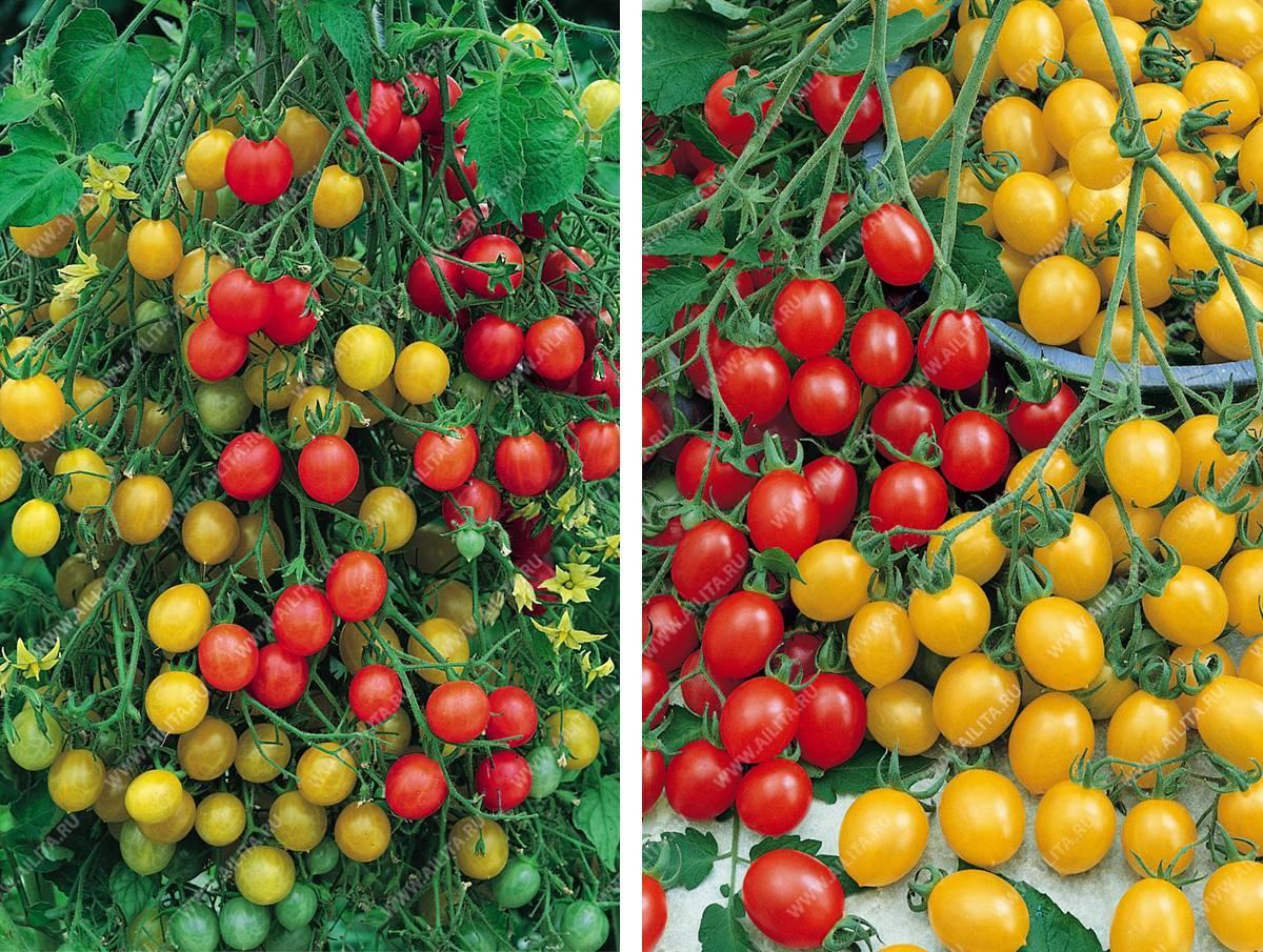 Как выглядит томат ампельный тигровый и другие удачные комнатные сорта