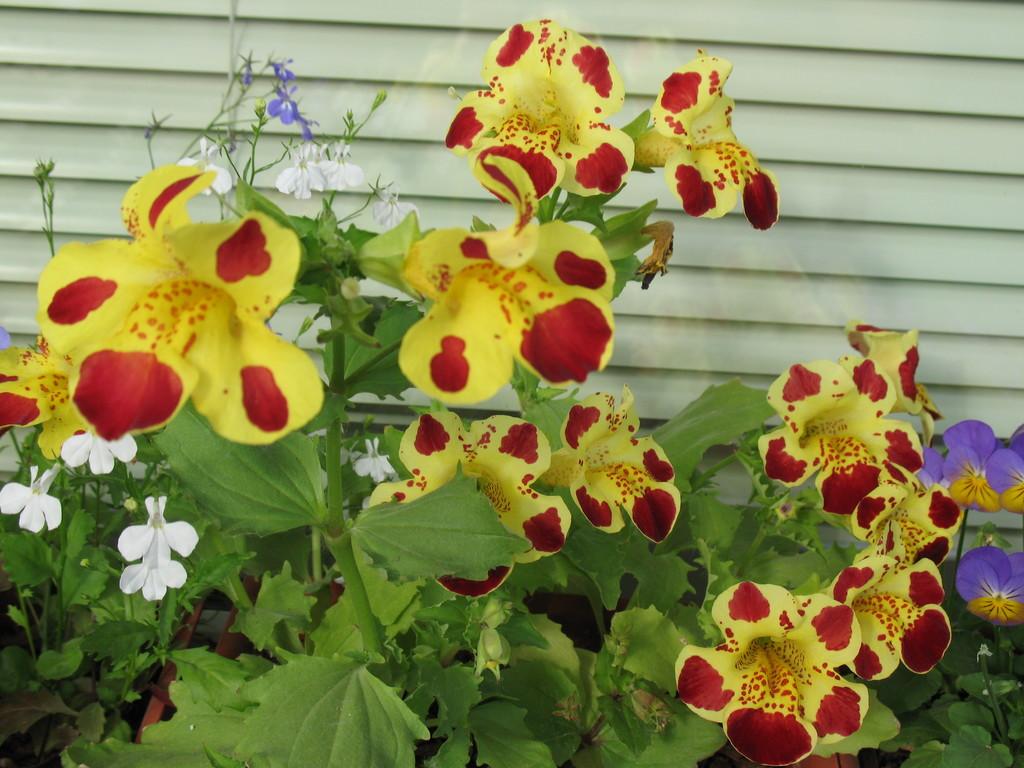 Цветок мимулюс и выращивание его из семян