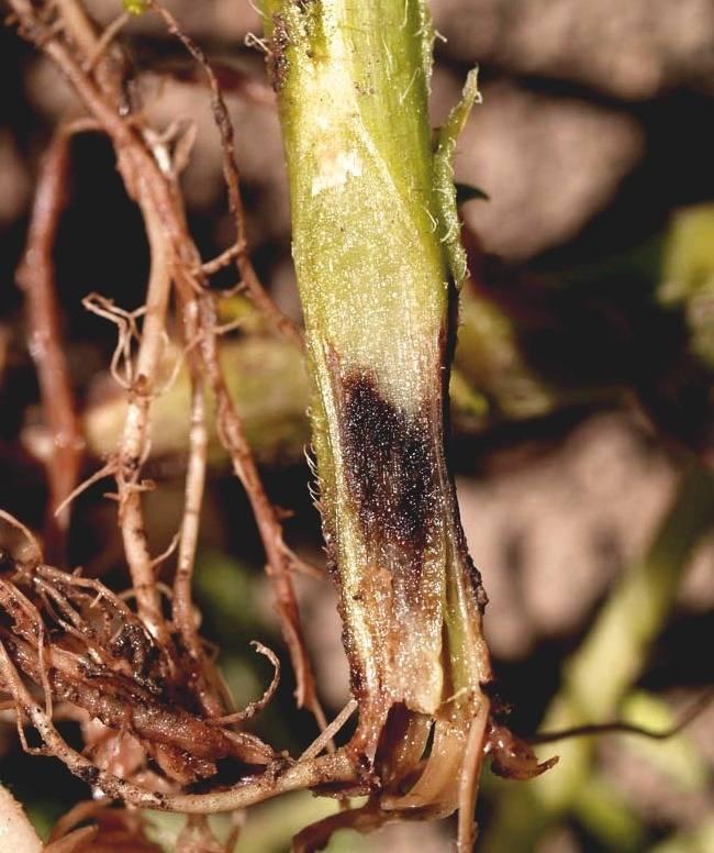 Варианты спасения кактуса при гниении корня, пятнистости и других болезнях