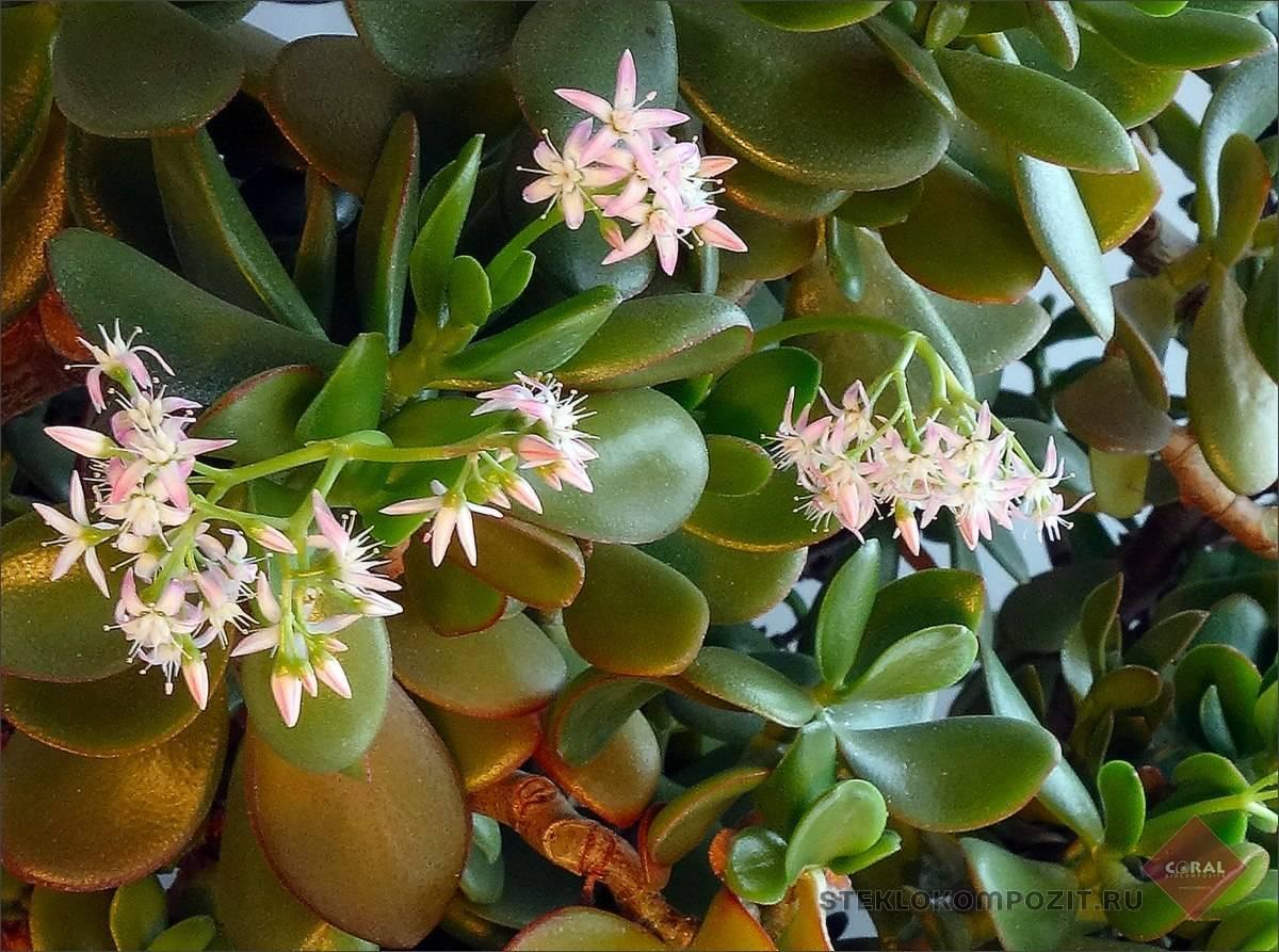 Денежное дерево (толстянка, крассула) - уход в домашних условиях, цветение