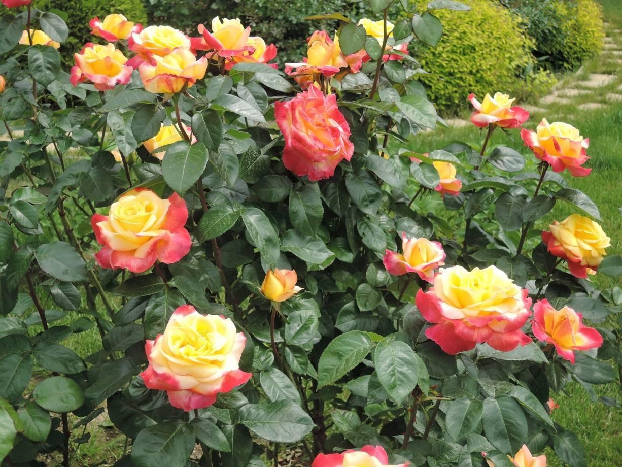 Роза пульман ориент