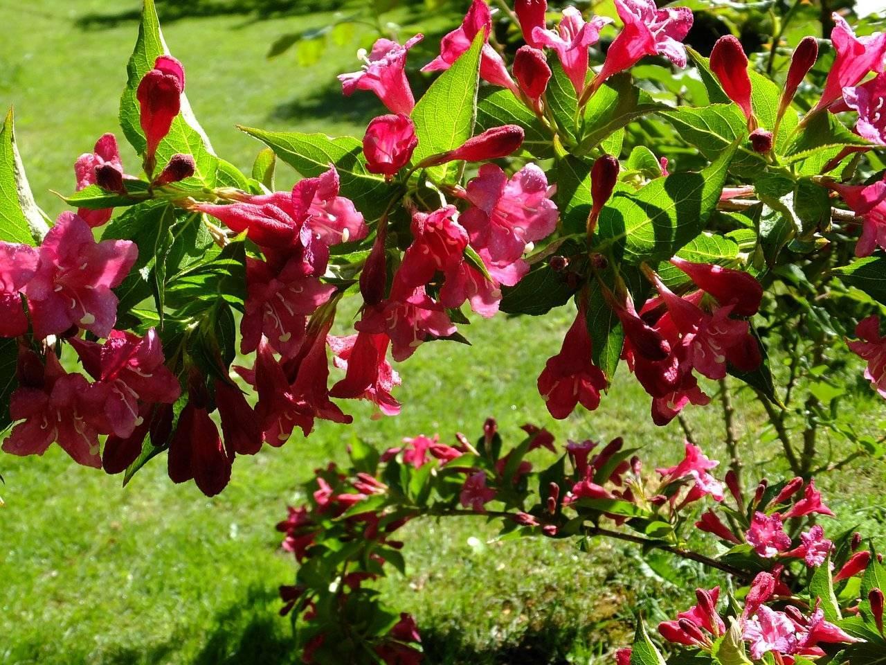Вейгела «нана вариегата» (28 фото): описание цветущего кустарника вейгелы, посадка и уход, зимостойкость