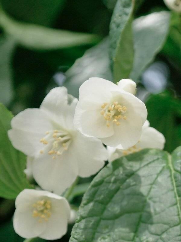 Чубушник (садовый жасмин): виды, посадка и уход