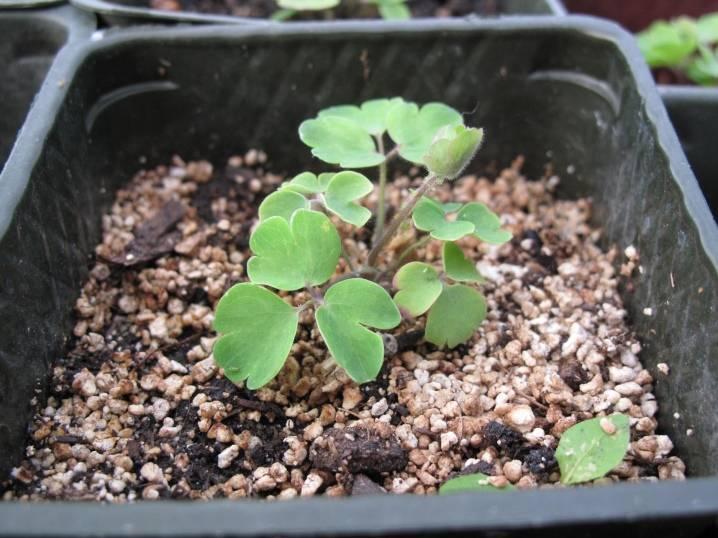 Выращивание аквилегии из семян (22 фото): как сажать их в домашних условиях? как вырастить в открытом грунте?