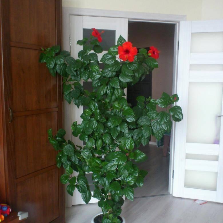 Как приручить штамбовую розу – все о посадке, уходе и укрытии на зиму