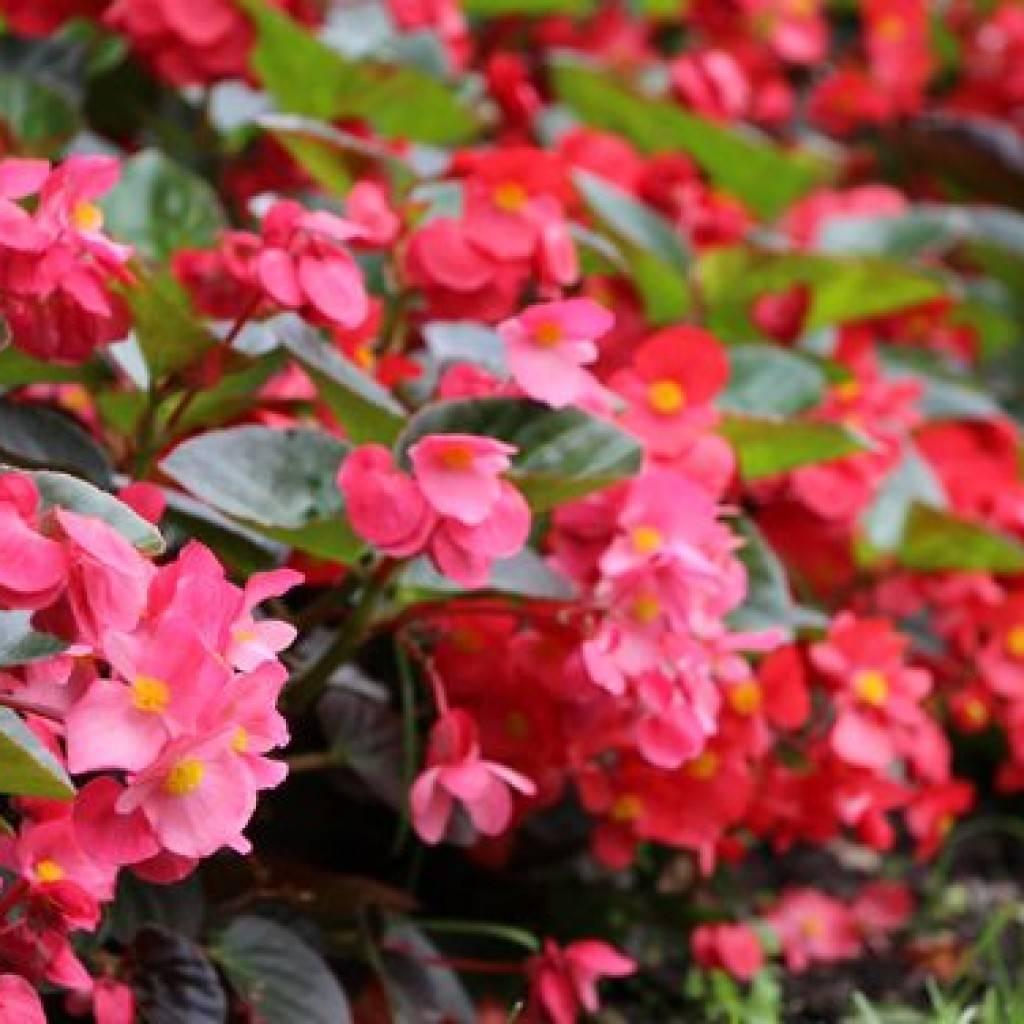 Посадка и уход за бегонией ампельной в домашних условиях: выращивание клубневого растения в открытом грунте, как грамотно заботиться о цветке, как выглядит на фото?