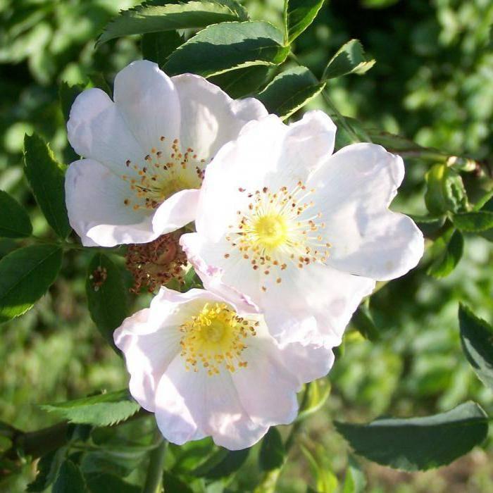 Как отличить розу от шиповника по листьям