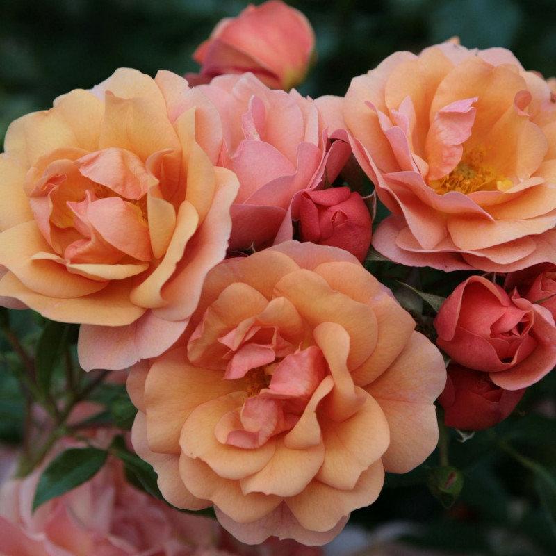 Роза кордес (kordes) — что это за садовая группа