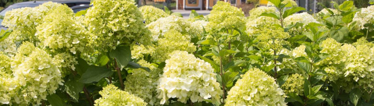 Долли: метельчатая гортензия, посадка, выращивание в саду, размножение