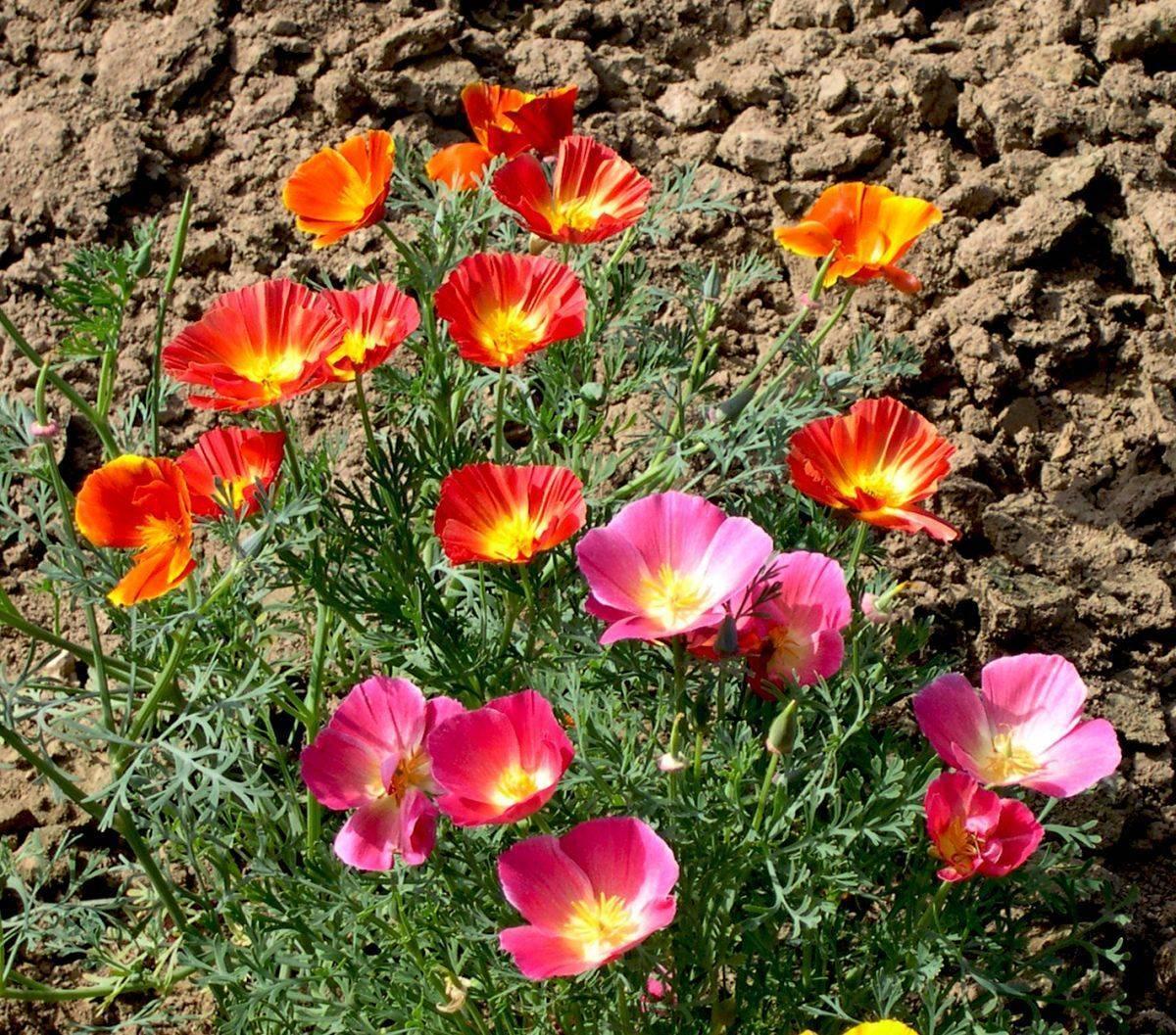Календула: выращивание из семян, фото, посадка и уход в открытом грунте, свойства