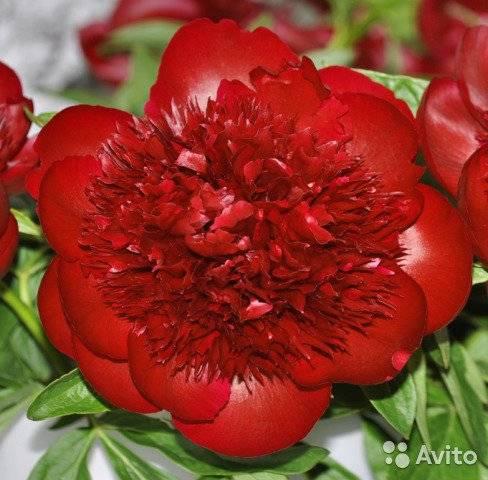Пион примавера (paeonia primevere) — характеристики сорта