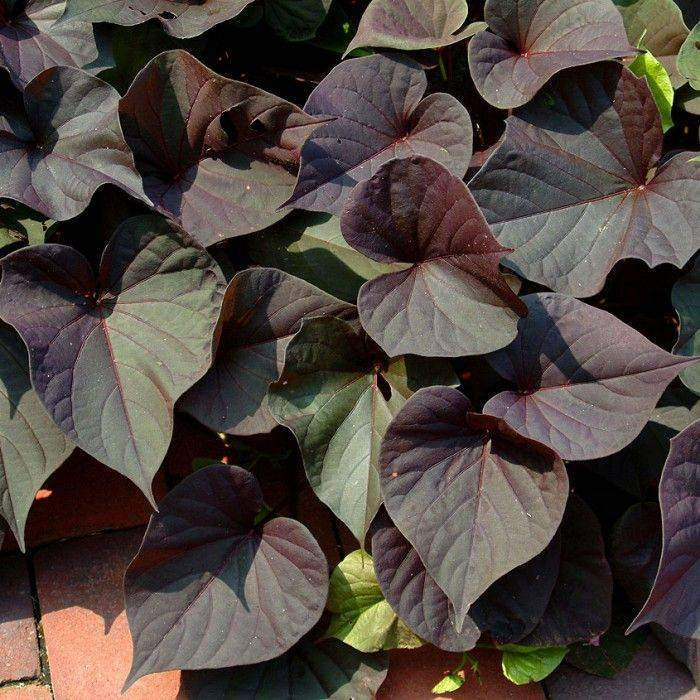 Выращивание и размножение ипомеи батат