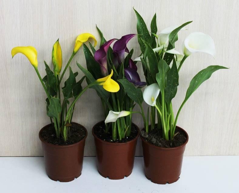 Почему антуриум не цветет и что делать? как заставить растение набрать бутоны?