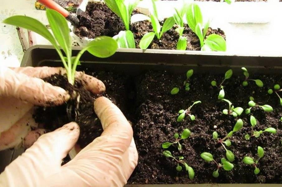 Посадка и уход за иберисом (21 фото): выращивание цветка из семян. когда сажать иберис однолетний в открытый грунт?
