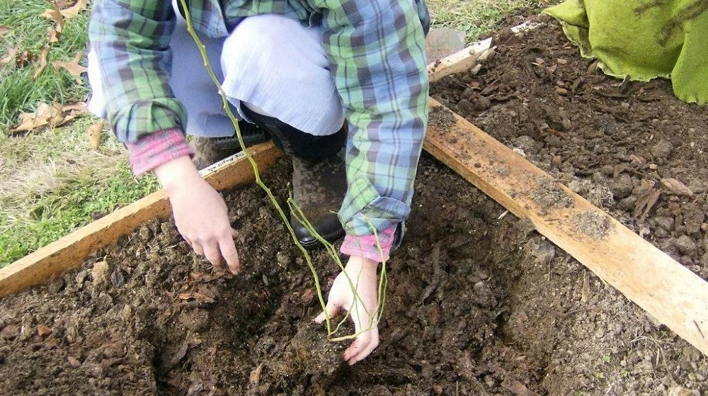 Можно ли хризантему из горшка высаживать в открытый грунт. хризантемы многолетние — посадка и уход в открытом грунте