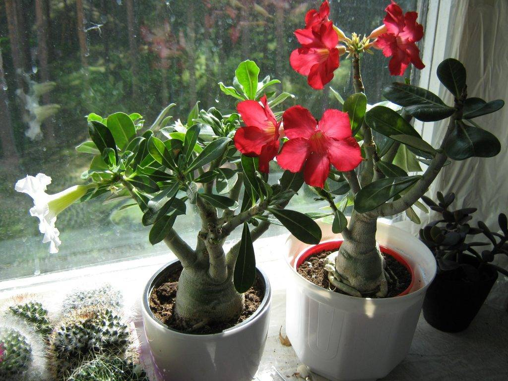 Адениум: размножение черенками в домашних условиях