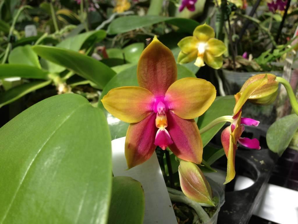 Что нужно знать об орхидее каода, чтобы обеспечить её цветение в домашних условиях?