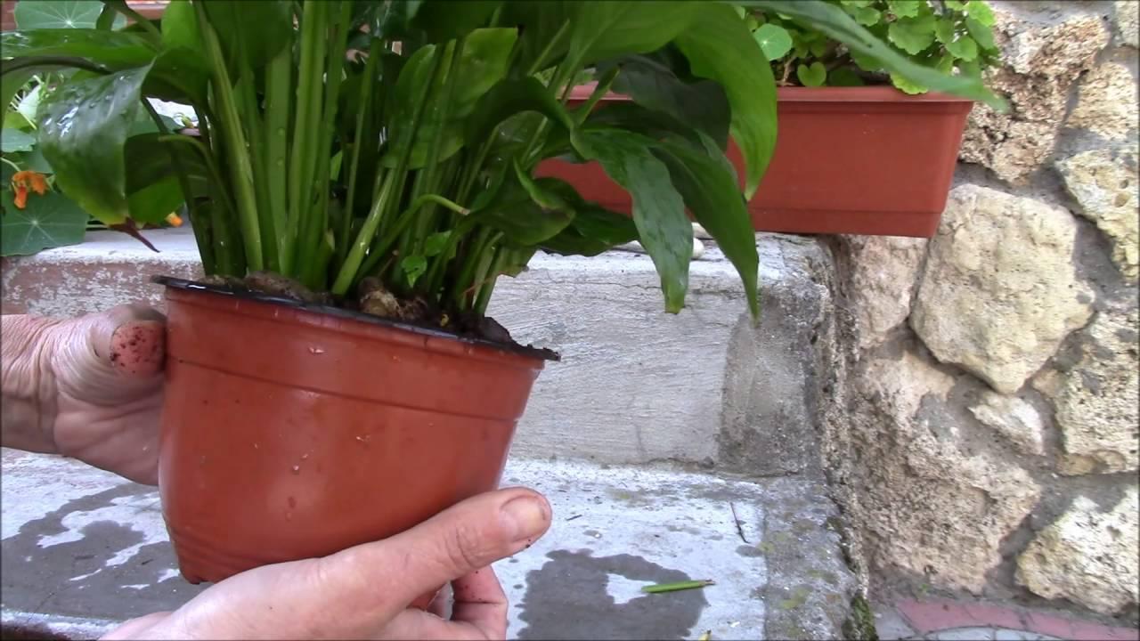 """Как ухаживать, чтобы цветок """"женское счастье"""" цвел, можно ли заставить его это делать, что нужно, если спатифиллум в домашних условиях желтеет, а также фото растения"""
