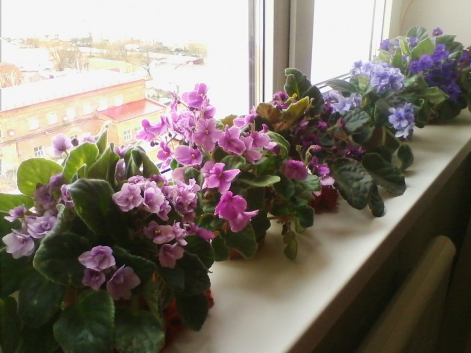 Почему не цветет комнатная фиалка?