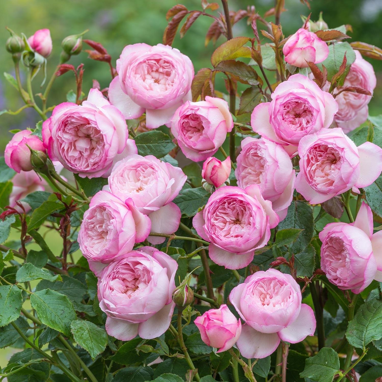 Роза Принц (The Prince)