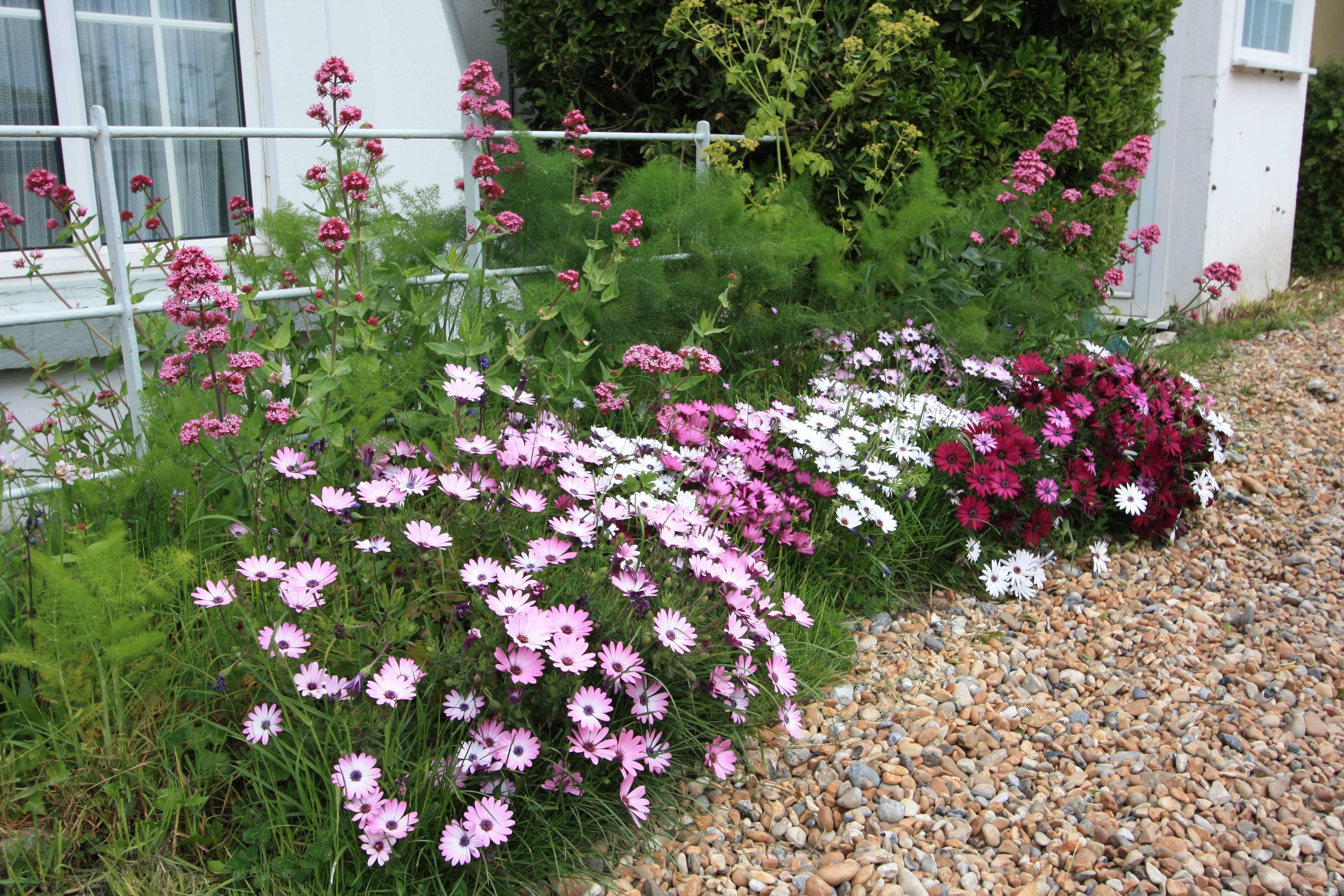 Цветы остеоспермумы: многолетние или однолетние растения, выращивание, посадка и уход