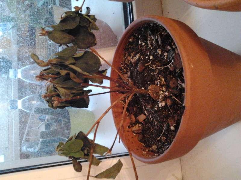 Сохнут и опадают листья у азалии: почему комнатный цветок их сбрасывает, появляются обезвоженные пятна на кончиках, что делать для ухода в домашних условиях, и фото