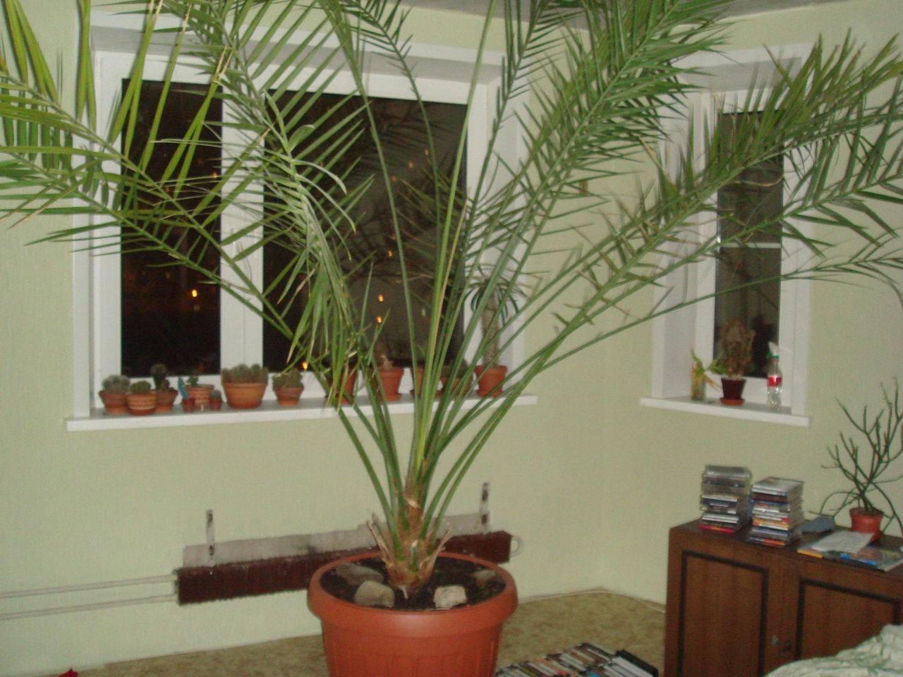 Как вырастить финик? все этапы: от подготовки косточки, до пересадки молоденькой пальмы