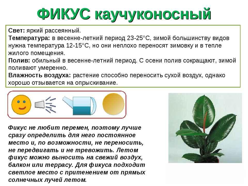 Аглаонема: уход в домашних условиях, виды и сорта фото, размножение и пересадка аглаонемы пошагово