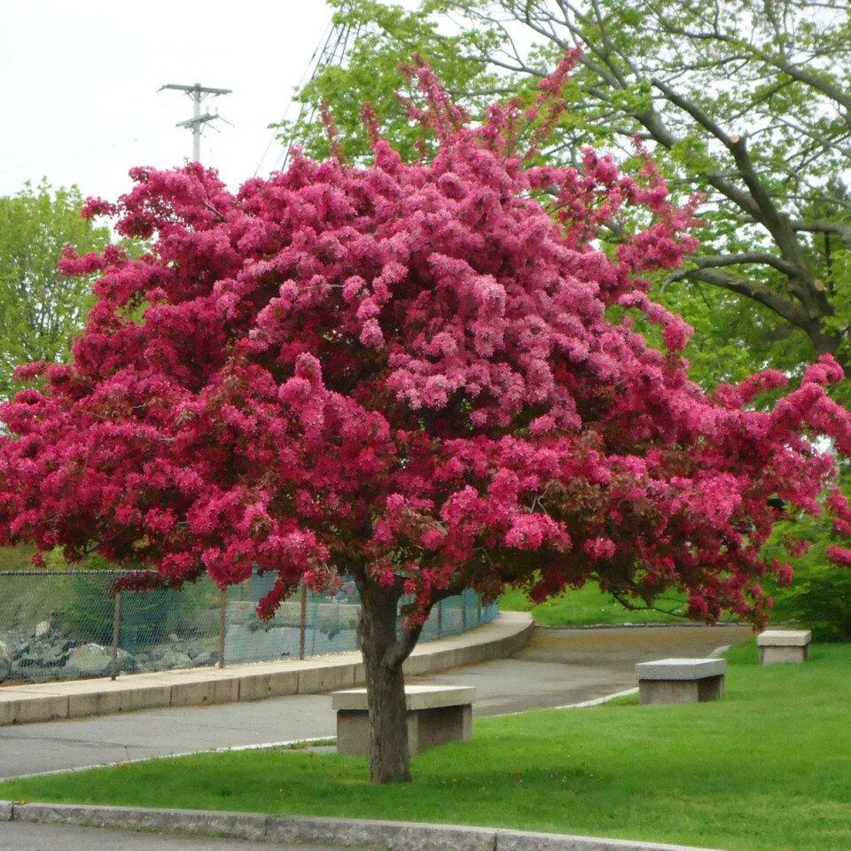 голову декоративные розовые деревья названия и фото вести неожиданно сняли