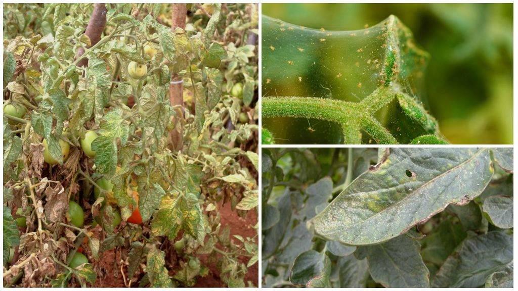 Бархатцы и паутинный клещ, тля и другие вредители: фото тех, кто съедает листья растения, а также рекомендации, как бороться с насекомыми и что делать при болезнях