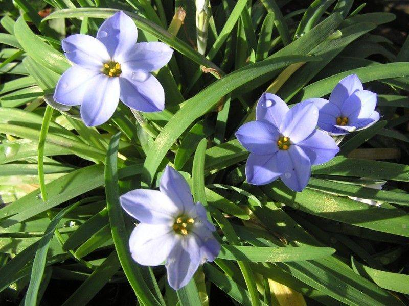 Цветы ифейон – посадка и уход в открытом грунте