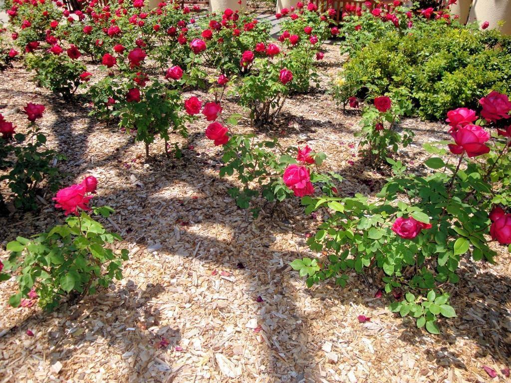 Мульча для роз какая лучше