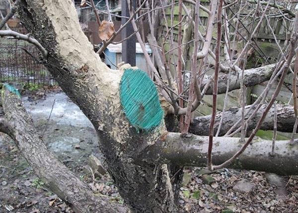 Обрезка деревьев: формирование кроны плодовых деревьев и состав садового вара