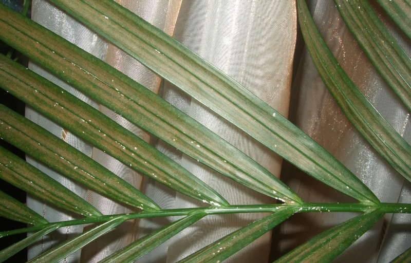 Болезни и проблемы при выращивании пальмы хамедореи