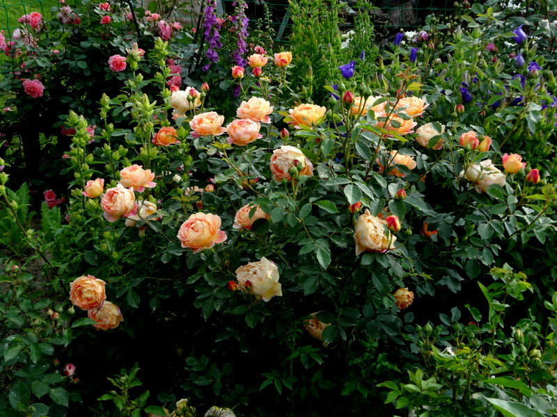 О розе леди оф шалот (lady of shalott): выращивание сортовой розы остина