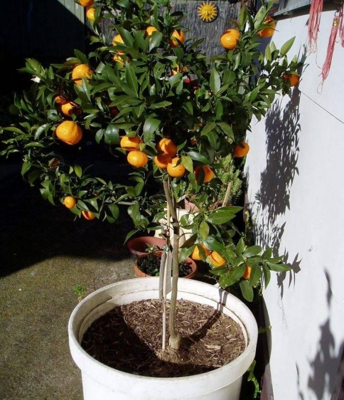 Мандариновое дерево: выращивание и уход в домашних условиях