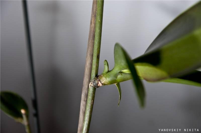 Как выращивать деток орхидеи в домашних условиях: как заставить дать побеги, что сделать для укоренения и каким образом получить гарантированный результат?