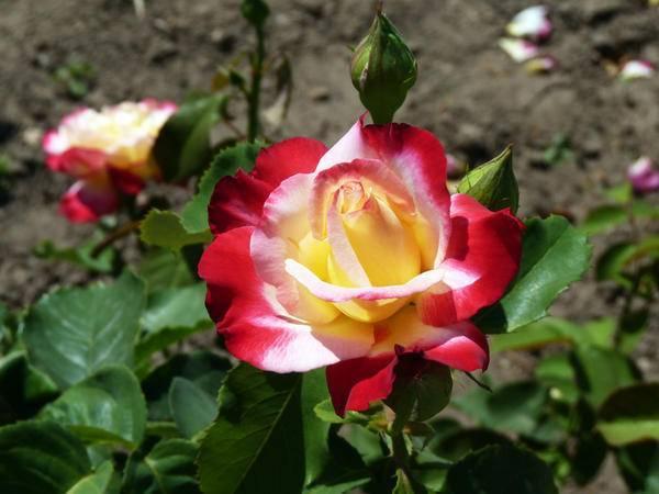 Чайно-гибридная роза дабл делайт – описание и отзывы о прекрасных цветах