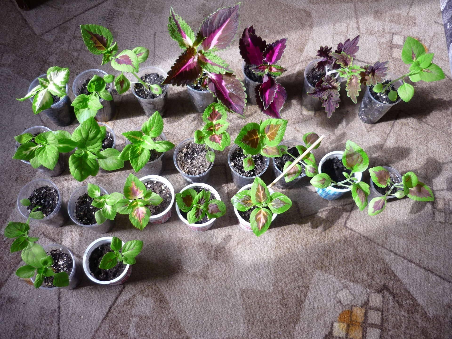 Как правильно выращивать колеусы дома и в саду